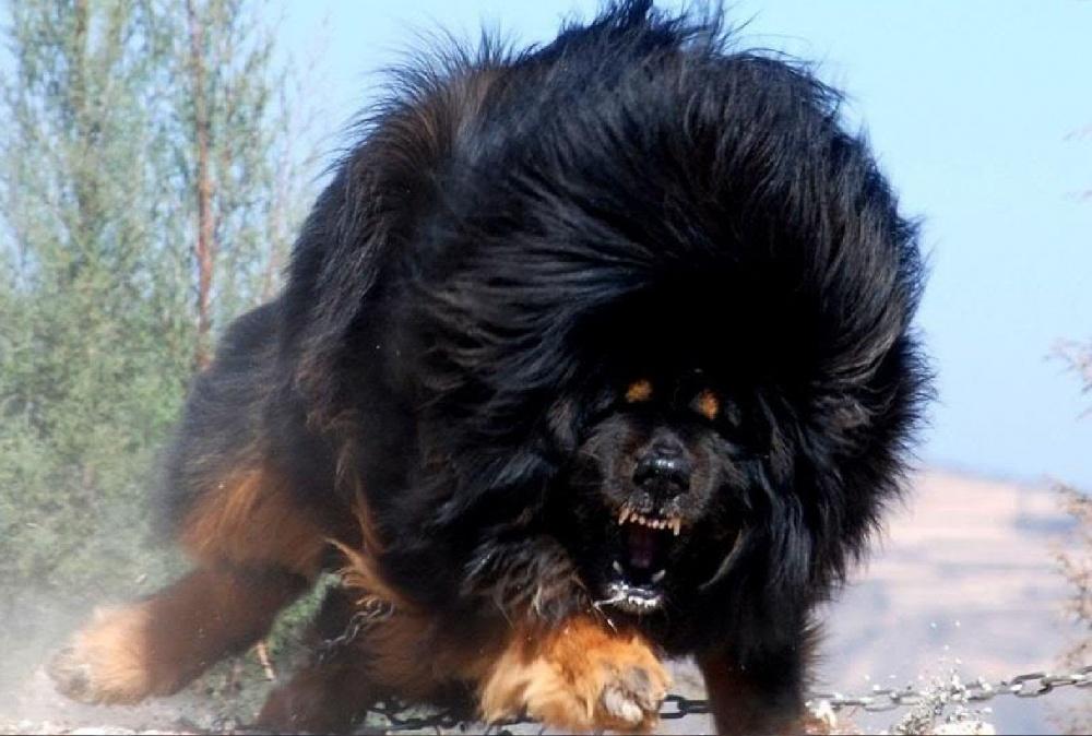 یکی از غیرمعمول ترین انواع سگ تیبتان ماستیف