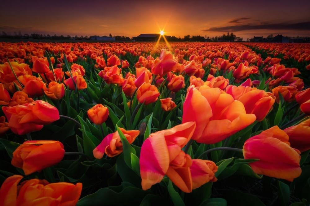 کوکنهوف پر از دشت های زیبای گل لاله