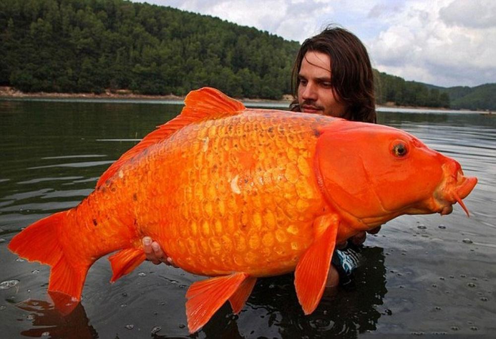 ماهی قرمز 15 کیلویی