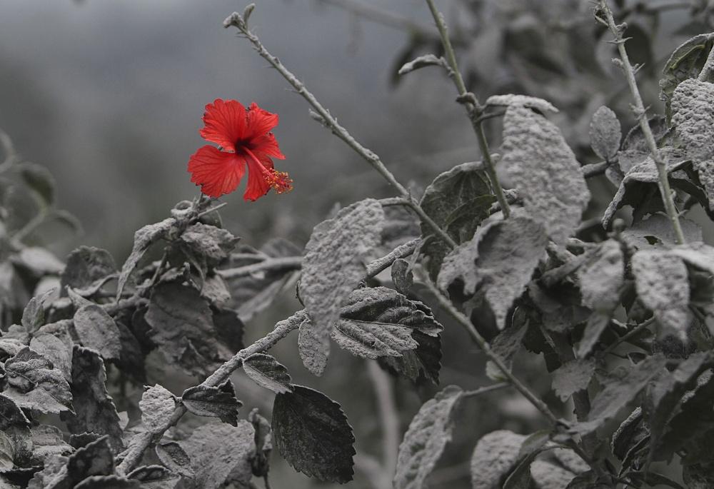 شکوفه ای بعد از فوران آتشنفشانی در جزیره ی سوماترا