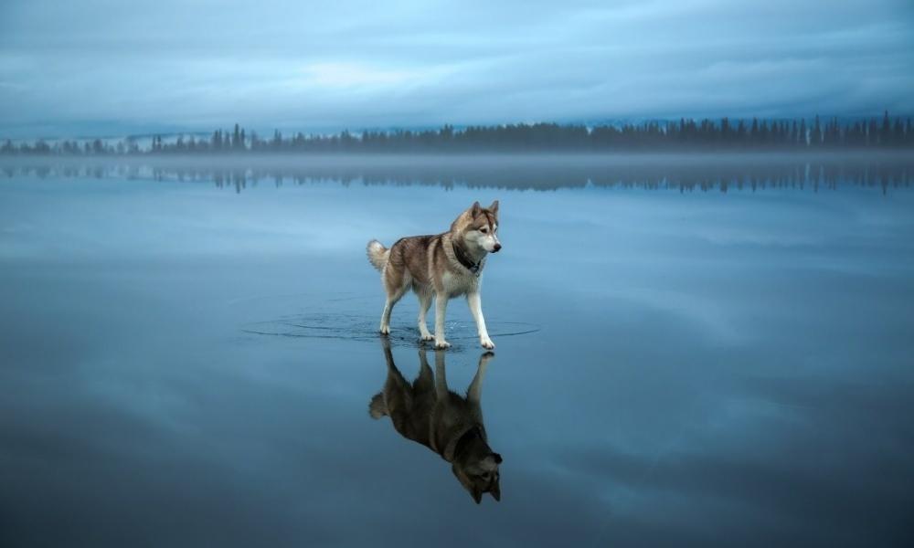این فقط یک  هاسکی بر روی دریاچه ای یخی است.