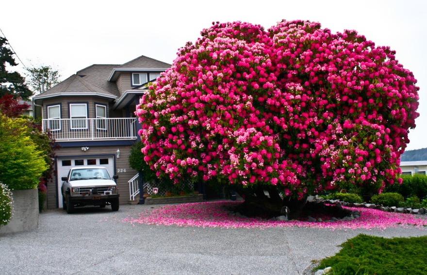 یک گل صد تومانی 125ساله،کانادا