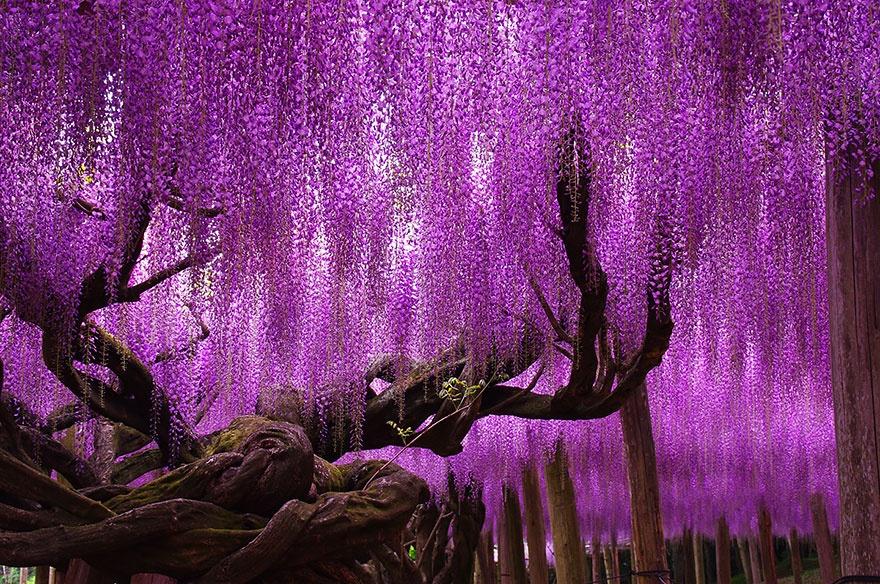ویستریا 144 ساله، ژاپن