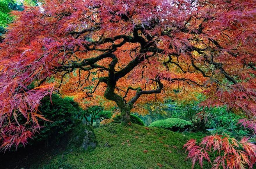 درخت افرای ژاپنی، اورگان، آمریکا