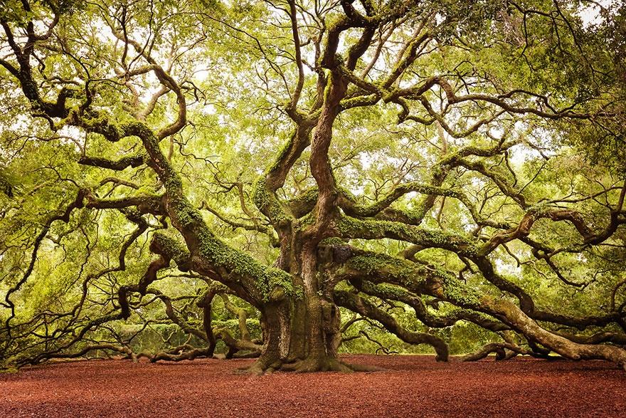 درخت بلوط فرشته،کالیفرنیای جنوبی