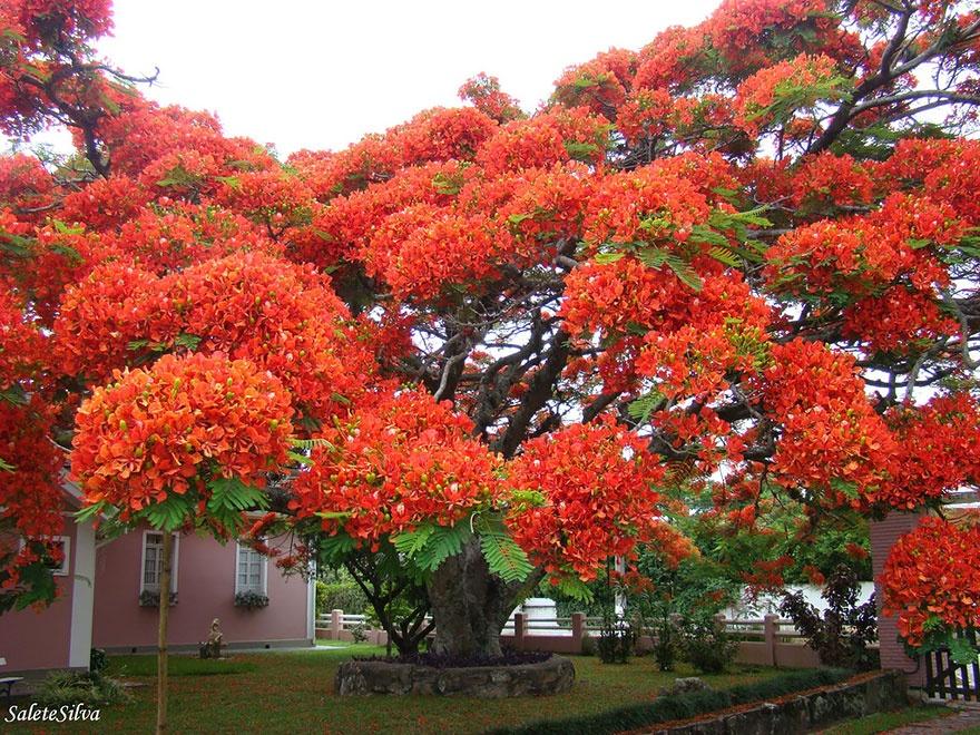 درخت طاووس، برزیل