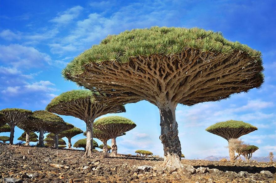 درختان خون اژدها، یمن