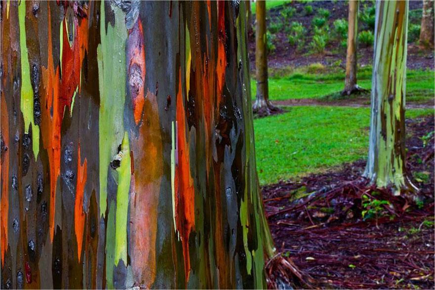 اوکالیپتوس رنگین کمانی،هاوایی