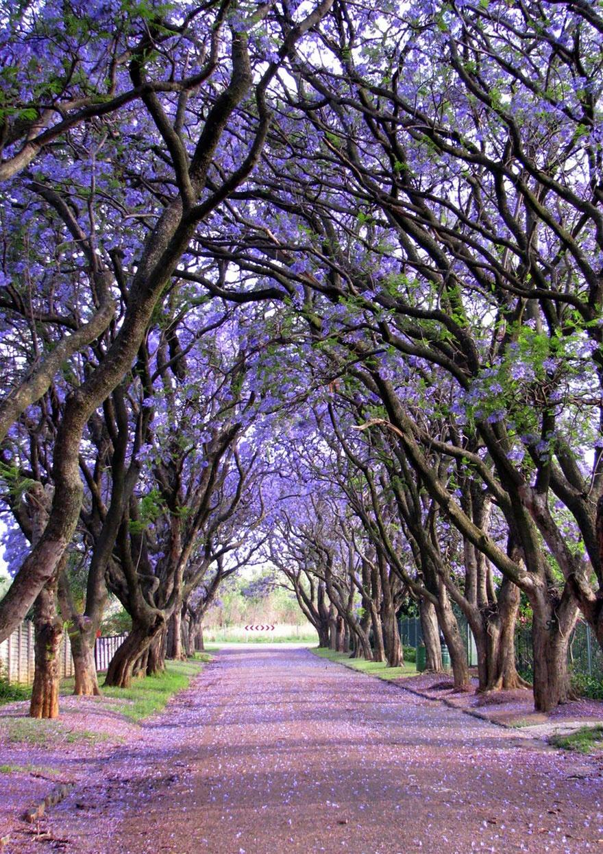 درخت جوالدوز، آفریقای جنوبی
