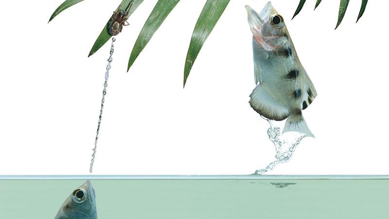 ماهی کمانگیر قادر به تشخیص چهره انسانهاست