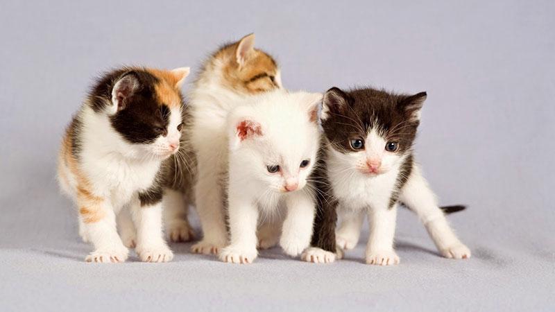 تاثير تماشای ویدئوی گربهها بر سلامت انسان
