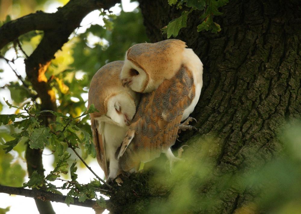 Screech-owls