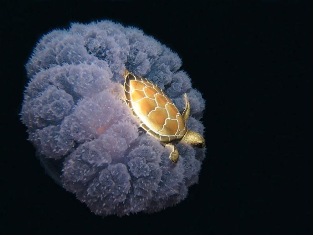 لاکپشت و عروس دریایی