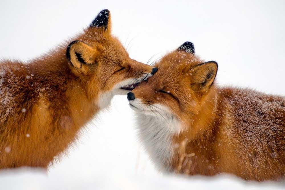 روباهها