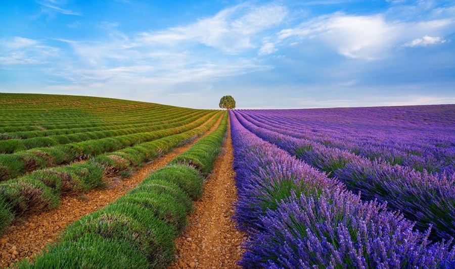 مزارع اسطوخودوس در منطقه پراونس در جنوب فرانسه