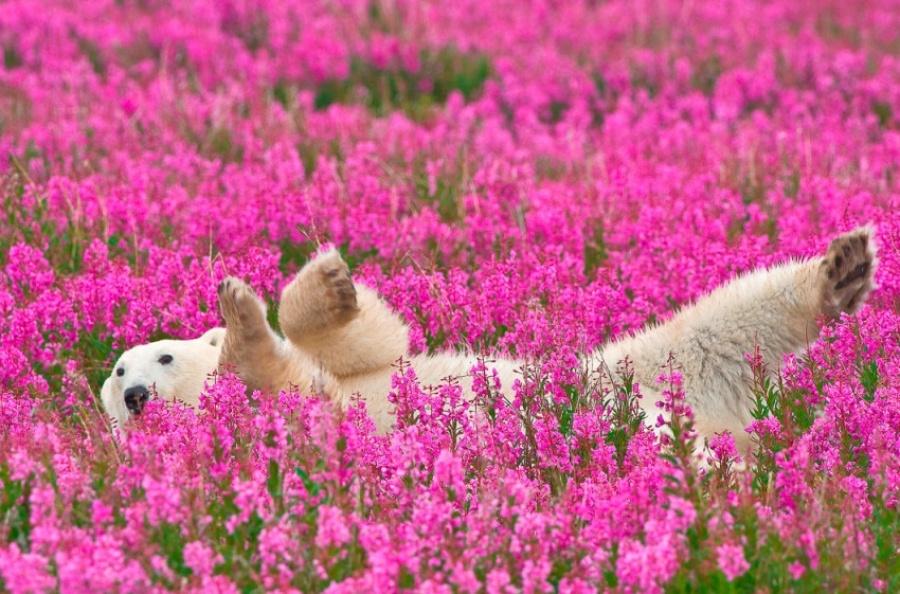 خرسهای قطبی در مزرعه بازی میکنند