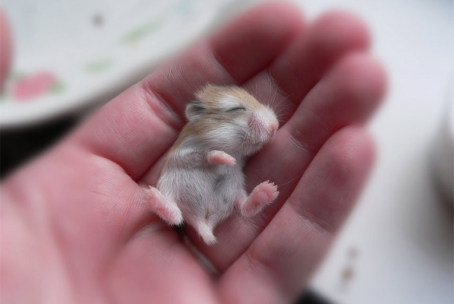A baby hamster