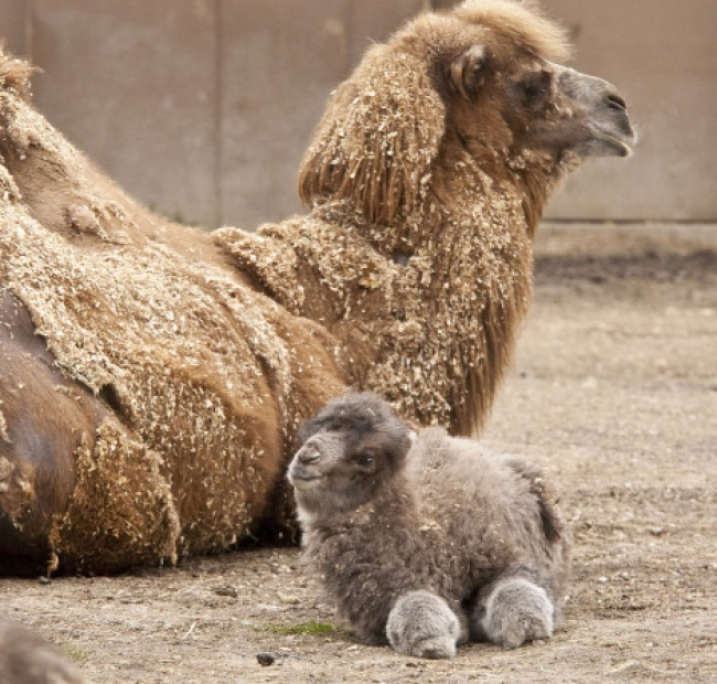 A baby camel