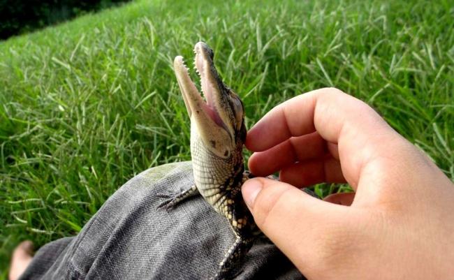 A baby crocodile