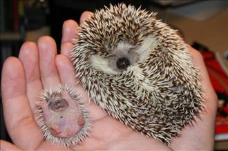 A baby hedgehog and his mother.