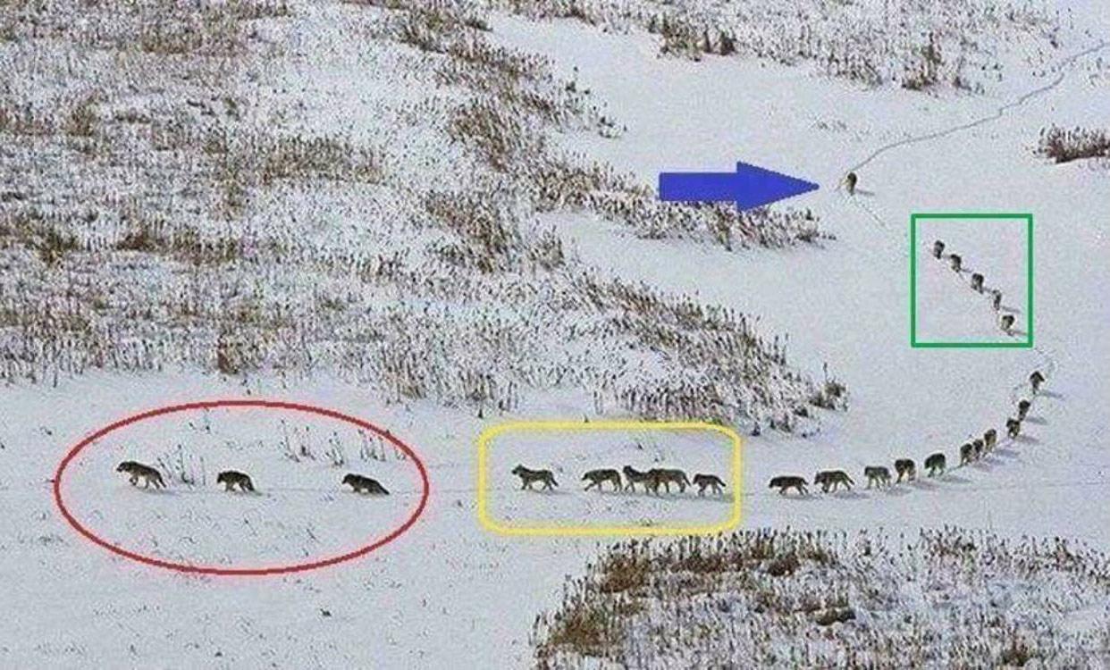 """""""رهبری"""" در میان گرگها"""