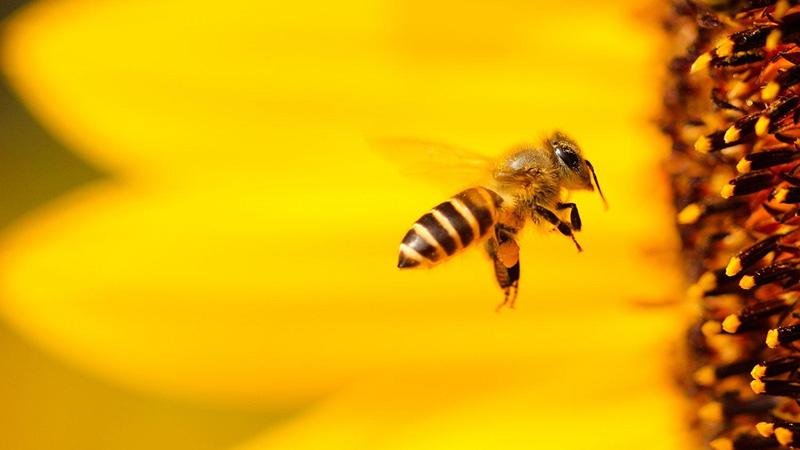 ۸ حقیقت جالب درباره زنبورهای عسل